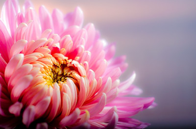 Chrysanthemum202483_640