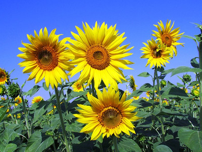 Sunflower268015_640_2